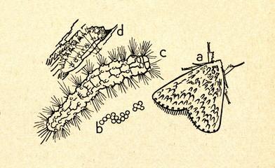 Black arches (Lymantria monacha)