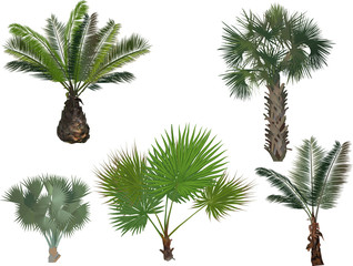 five green palm trees isolated on white