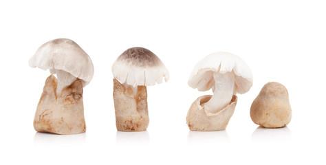 Volvariella volvacea, Straw Mushroom on white background