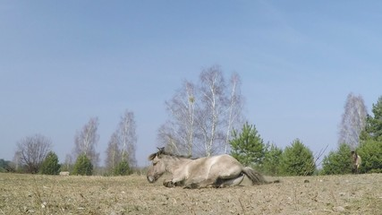 Przewalski Horse rolls on the pasture