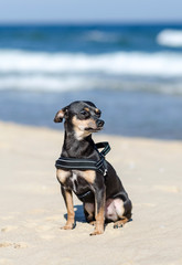 Beach sunny portrait of pincher dog