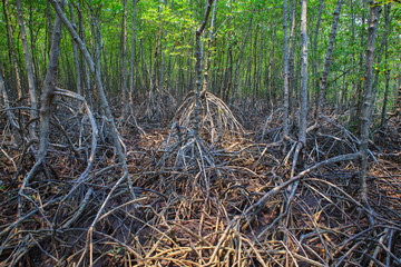 beautiful natural mangrove tree root structure in nature mangrov