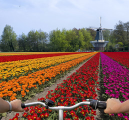Tulpen in Holland mit Fahrradlenker