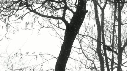Crow on branch in the winter.