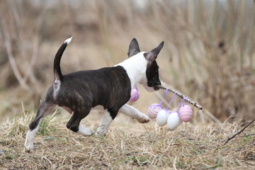 Miniatur Bull Terrier läuft mit Ostereiern davon