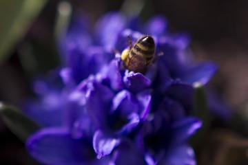 bee in hyacinth
