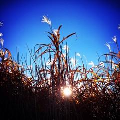 Sonne durch hohe Gräser