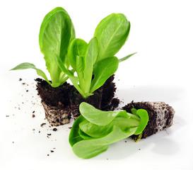 """Salatpflanzen """"Herzsalat"""" Unicum"""