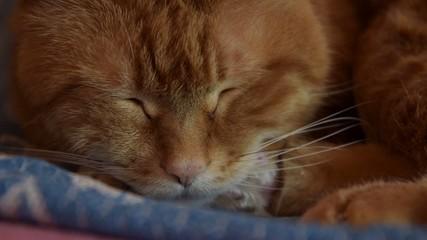 Sleepy red cat. Close up. Selective focus.
