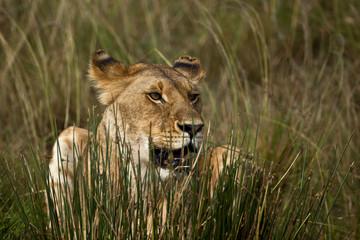 leonessa nascosta