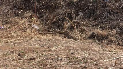 Snakes Pair Mating 2