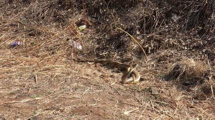 Snakes Pair Mating 1