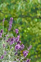 Lila Lavendel Blüten Textfreiraum