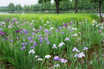 梅雨の花菖蒲園