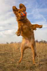 Golden retriever leaping for ball, frontal view