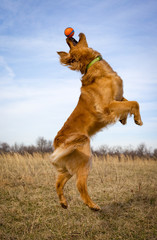 Golden retriever leaping for ball, side view