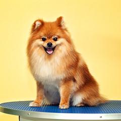Happy red dog Spitz