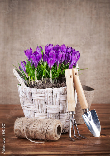 Spring flowers in wicker basket with garden tools - 80532071