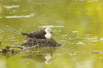 black-winged stilt, himantopus himantopus on the nest