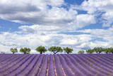 Horizontal view of lavender field - 80532443