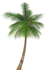 Palm Tree. 3D. Palm tree isolated on white background
