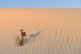 Yucca Plant in Rippled Sand in Morning Sunlight