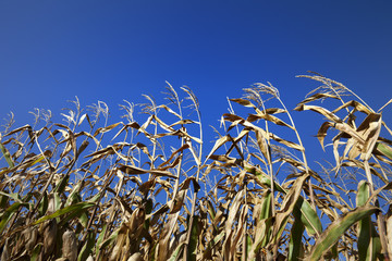 Cornfield and blue clear sky at nice sun day