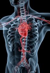 Human Heart. 3D. Human heart