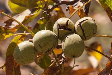 close up of ripe walnut husks