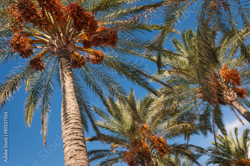 Plexiglas Palm boom date palms with ripe fruit against blue sky