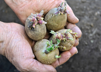 germinating potatoes in the farmer hands