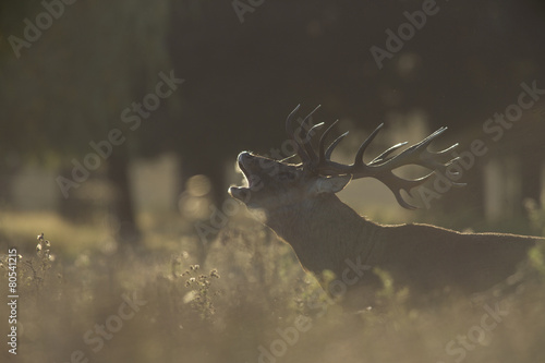 Poster Red deer - Cervus elaphus