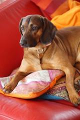 Bayerischer Gebirgsschweißhund auf Sofa liegend