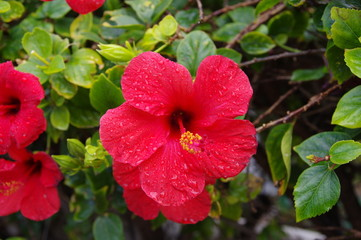 Hibiskusblüte 5