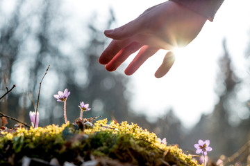 Hand of a man above a mossy rock with new delicate blue flower