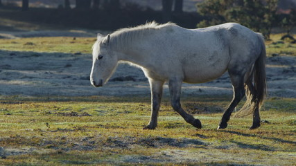 A wild white pony walking through the forest