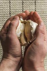 Extra Large Elephant Garlic