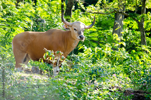 Deurstickers Bison Male Banteng in forest