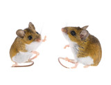 Deer Mice - Peromyscus Mouse