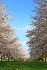 牧草地の桜並木
