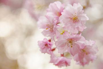 桃色に輝く桜