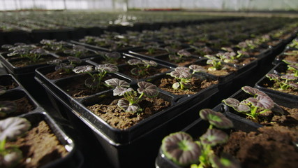 Rows of many young plants growing in a large commercial nursery greenhouse