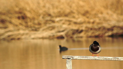 Aves acuáticas en el lago