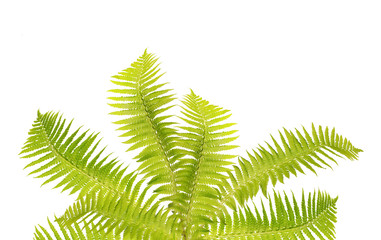bunch of seven fern leaves on white