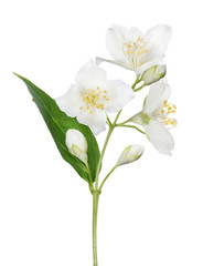 isolated jasmine branch with single leaf
