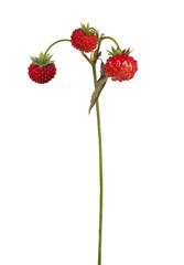 three dark red strawberries on stem