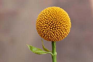 Neolamarckia cadamba flower