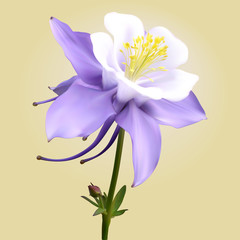 Aquilegia purple-white