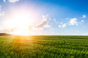 cornfield at sunshine