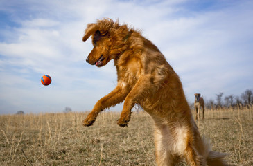 Golden retriever and Dane in field playing ball